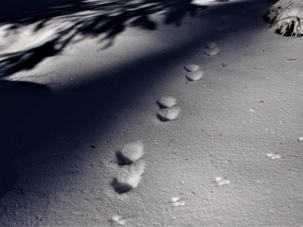A hunters footprints in the snow next to tracks from a marten.