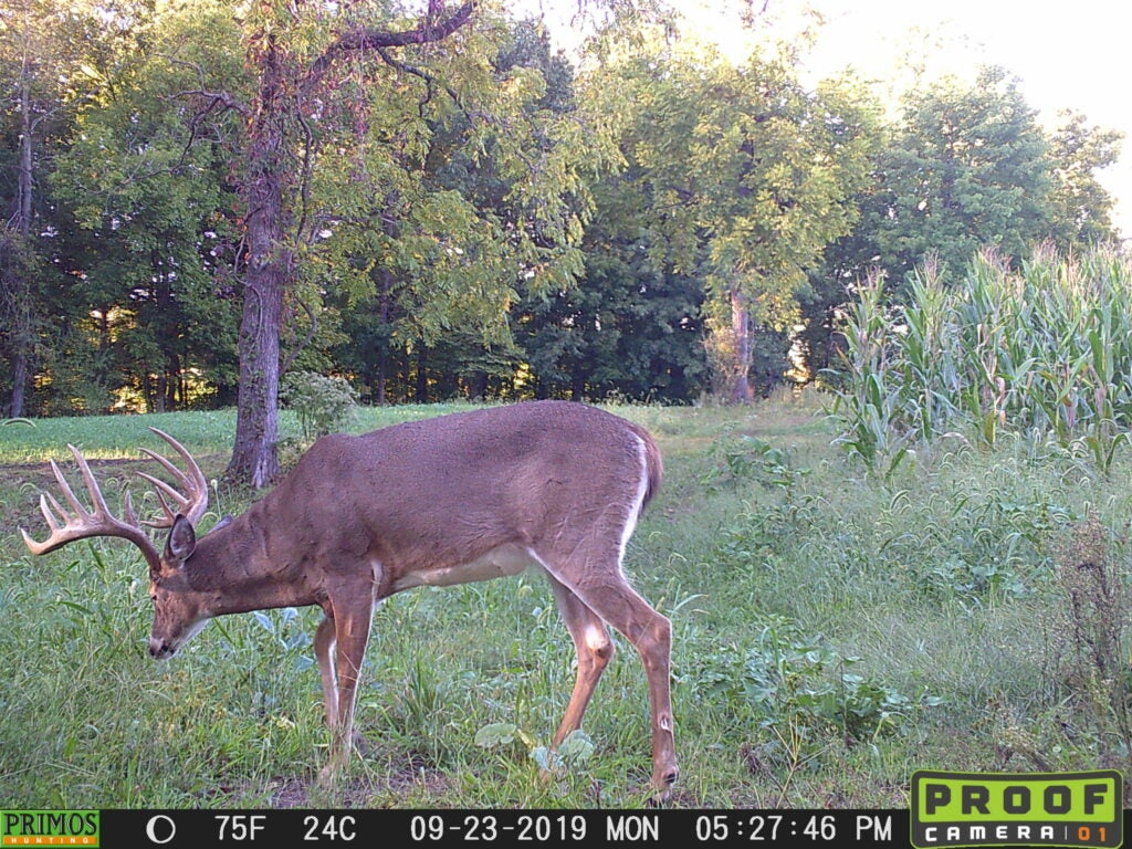 A broadside view of a big whitetail buck on trail camera.