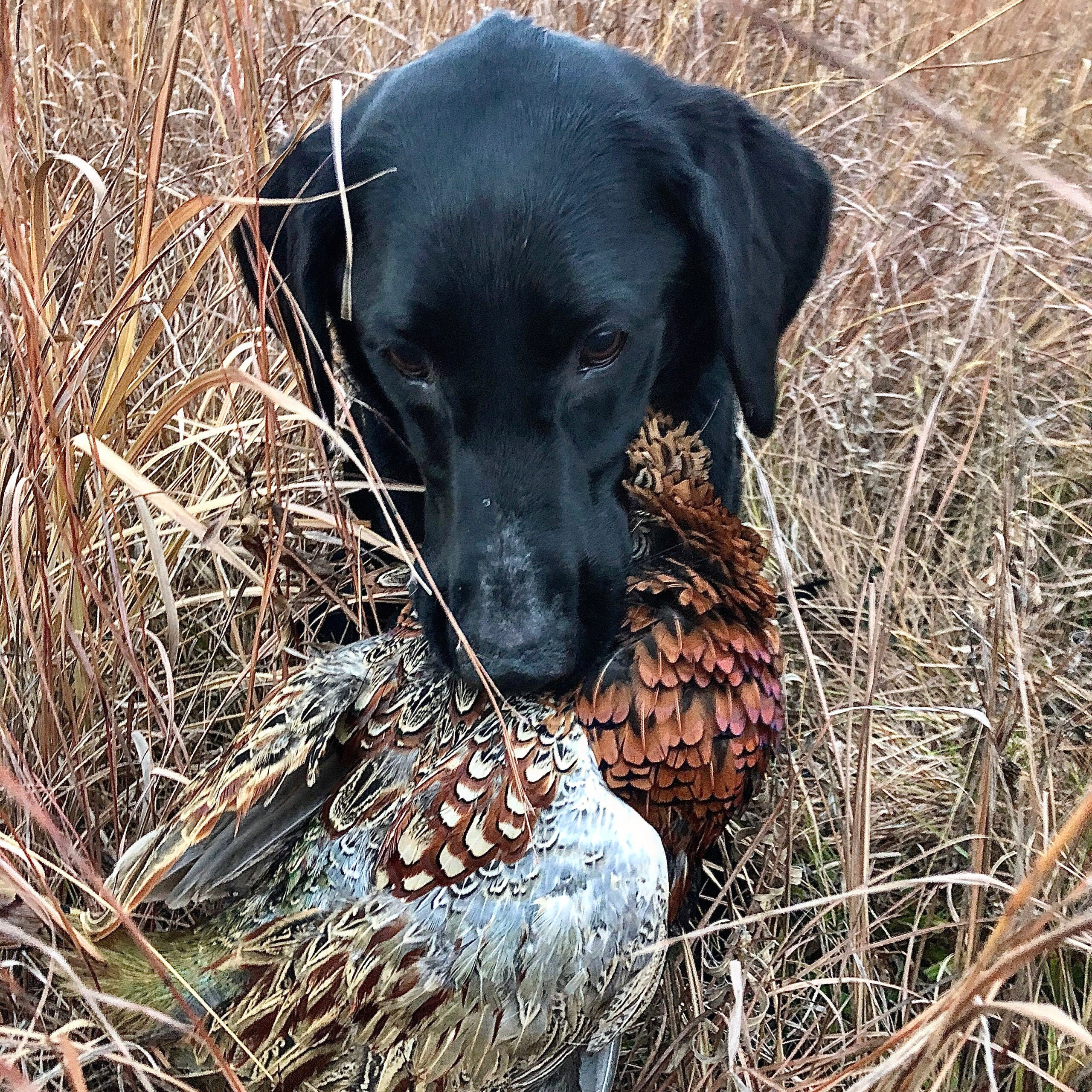 The author's dog Otis with a hard-earned Minnesota rooster.