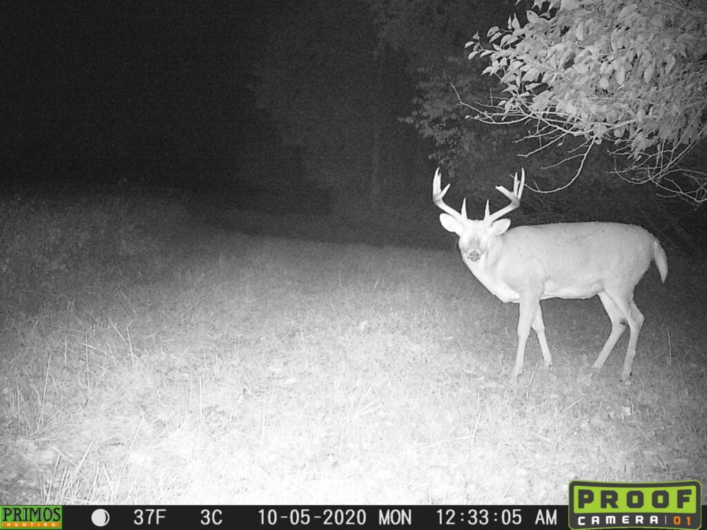 A giant fat old whitetail buck, broadside on trail camera at night.