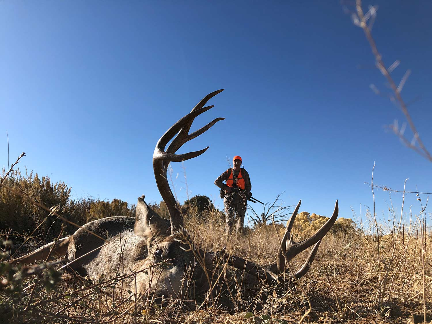 A hunter walks up on a downed whitetail deer in a field.
