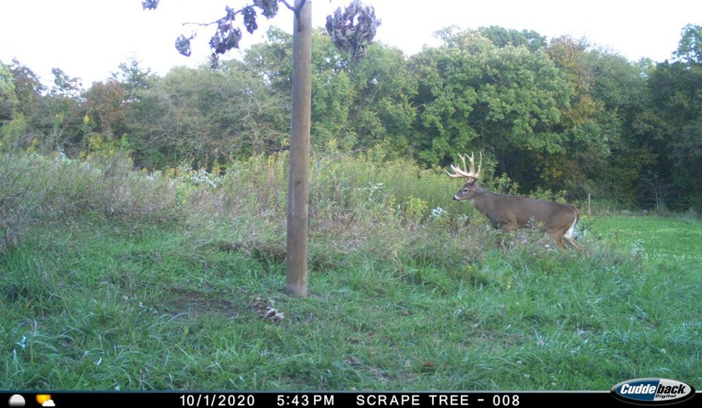 Trail camera footage of a deer in a food plot.