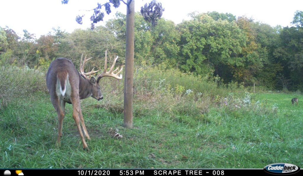 Trail camera footage of a whitetail deer next to a scraping tree.