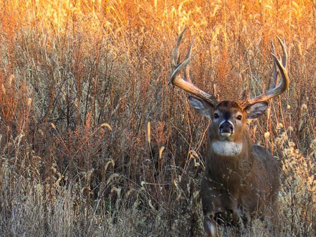 A whitetail deer stands in an open field of tall grass.