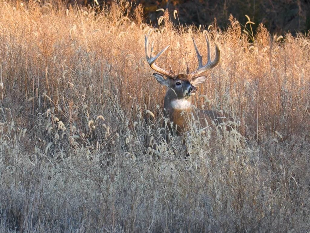 A whitetail deer sits in a field of tall grass.