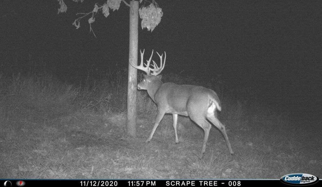 Trail camera footage of a whitetail deer at night next to a scraping tree.