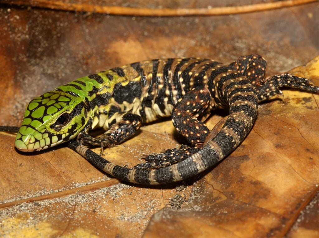 A tegu lizard on a rock.