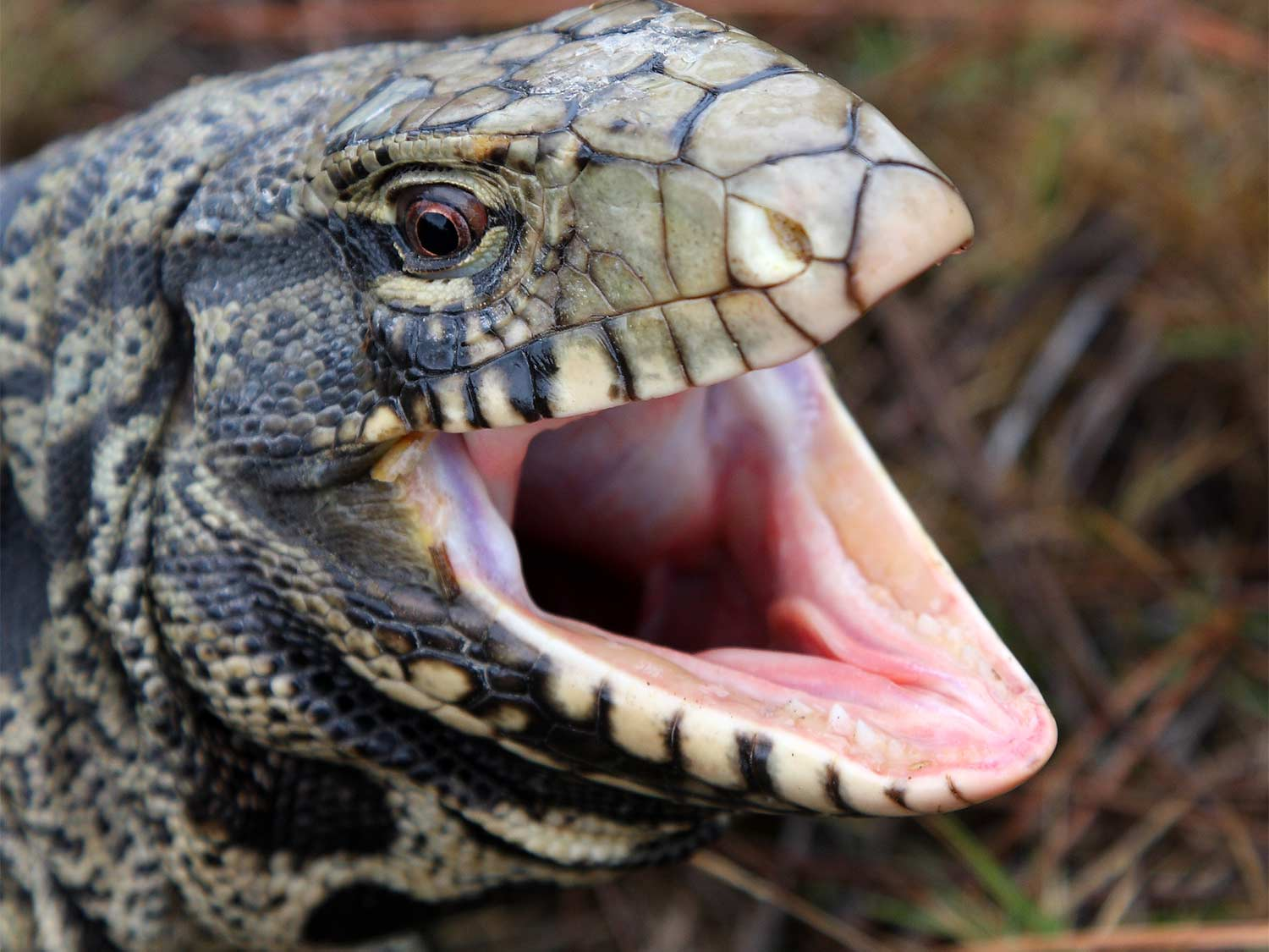 An Argentine tegu with its mouth open.