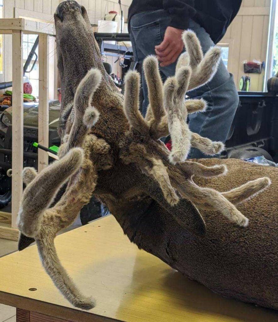 The velvet antlers of a doe.