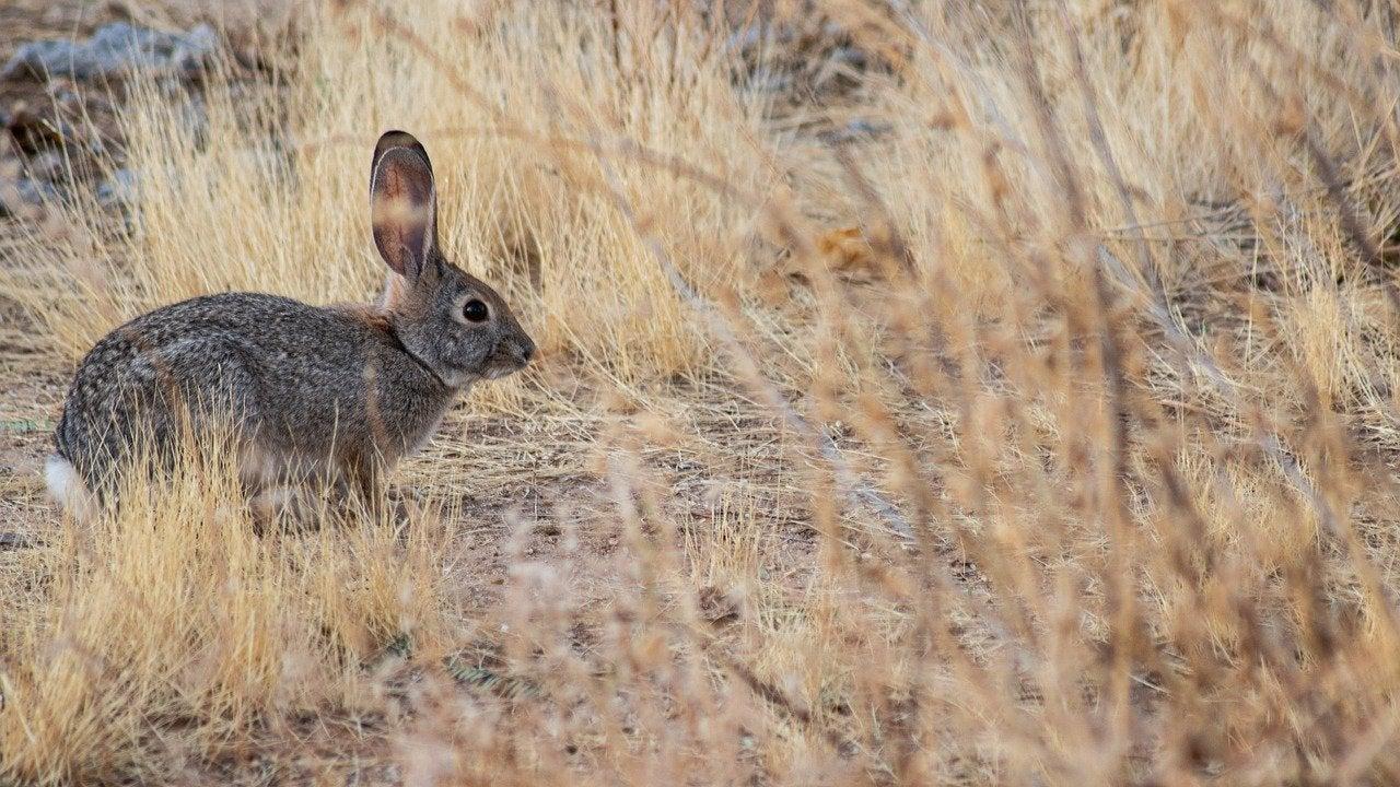 Rabbit Hemorrhagic Disease Virus Type 2 is deadly to wild rabbits.