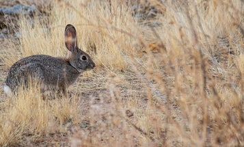 A Deadly Virus Is Spreading Among Wild Rabbits and Hares. Wildlife Agencies Are Calling on Hunters for Help