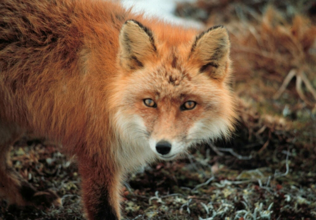 A red fox looks into the camera at Cape Newenham.