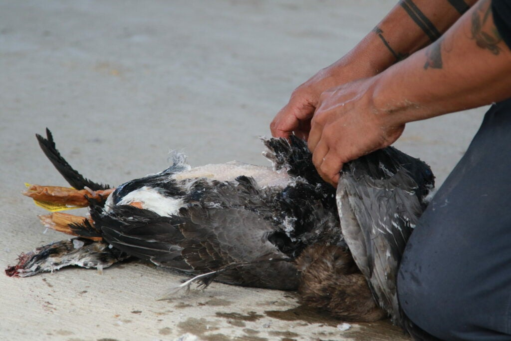 A pair of hands pulls away chunks of feathers on a wild goose.