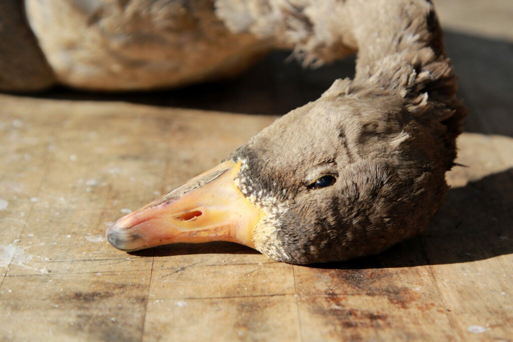 A brown specklebelly goose head rests on a wooden cutting board in the sunlight.
