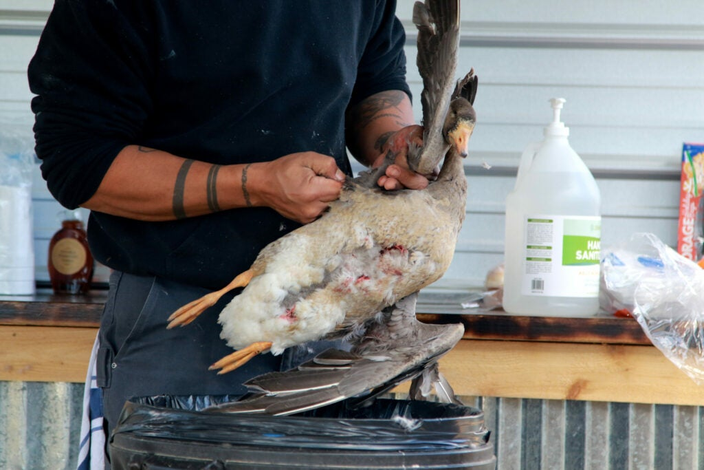 A man standing over a trash can plucks the specklebelly goose he's holding.