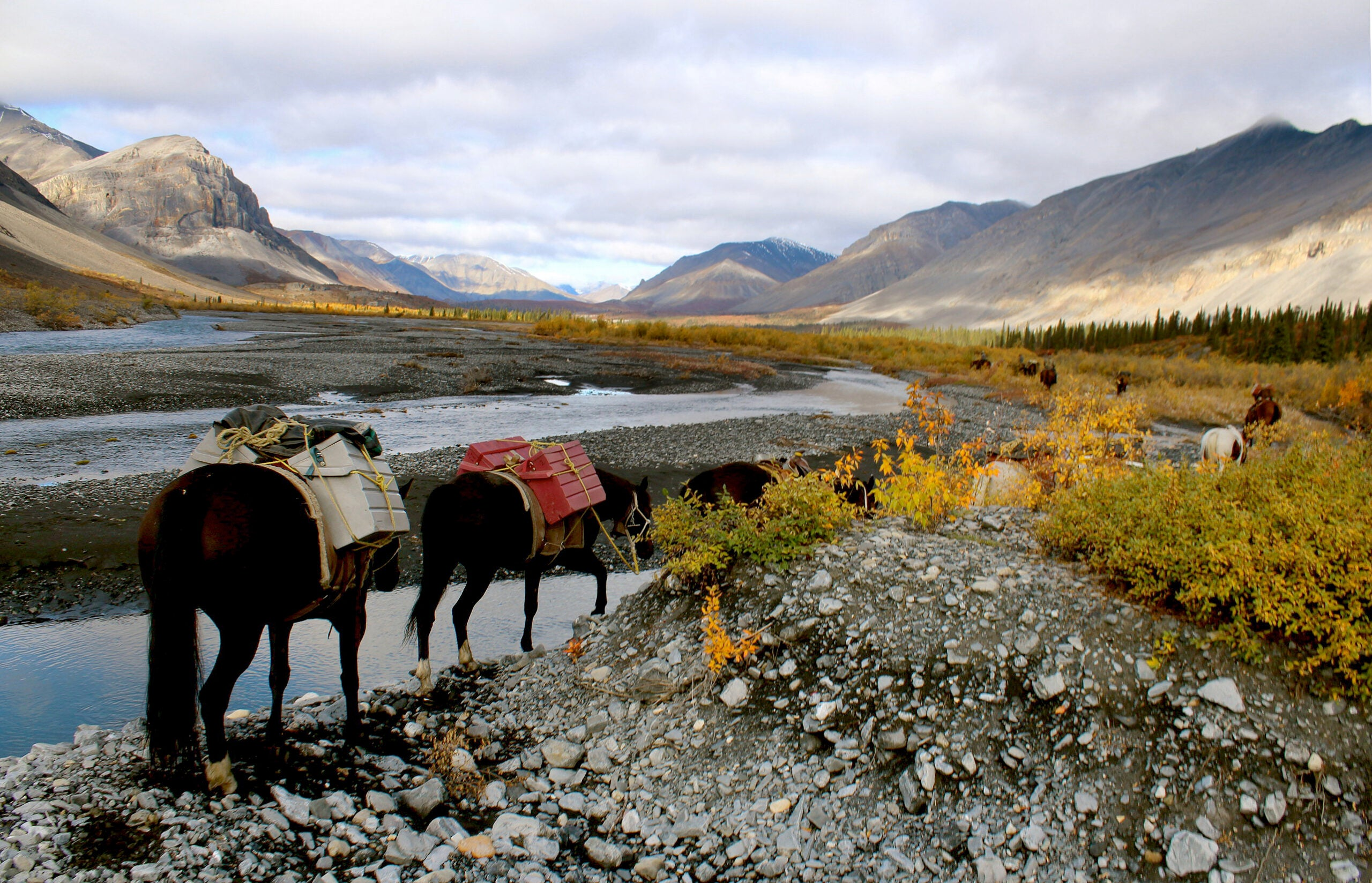 A train of pack horses, loaded with gear, walk along a mountain river valley in British Columbia.