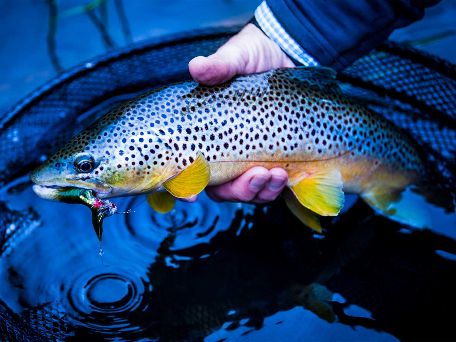 An angler holds a brown trout in his hand.