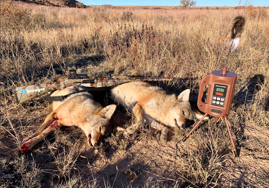 Coyotes are going to come in quick, so you need to have your gun at the ready.