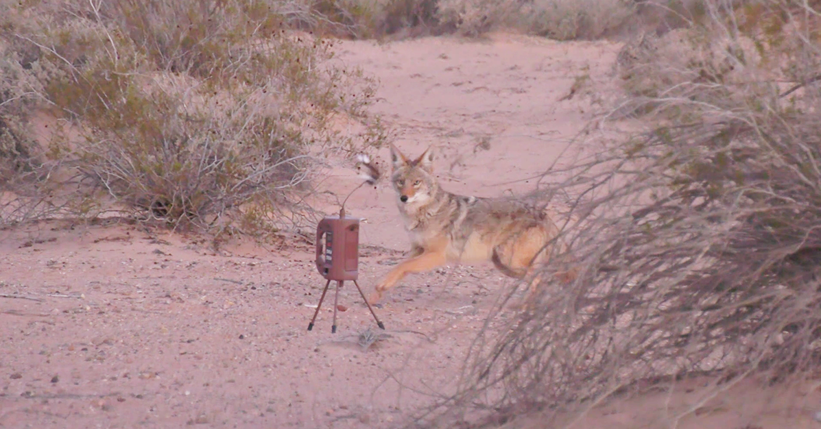 Shooting coyotes in close to the decoy is addictive.