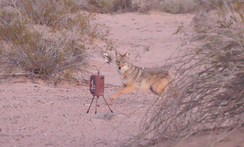 How to Call More Coyotes into Shotgun Range