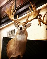 A whitetail deer trophy on the wall.