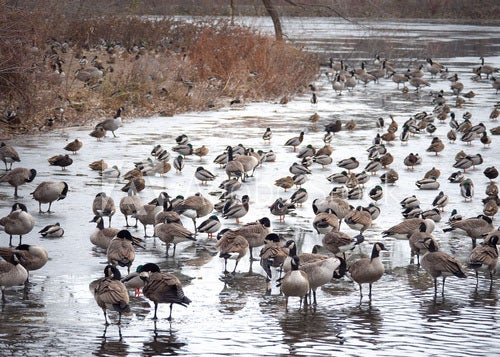 Small creeks and rivers are an ideal spot to target waterfowl.