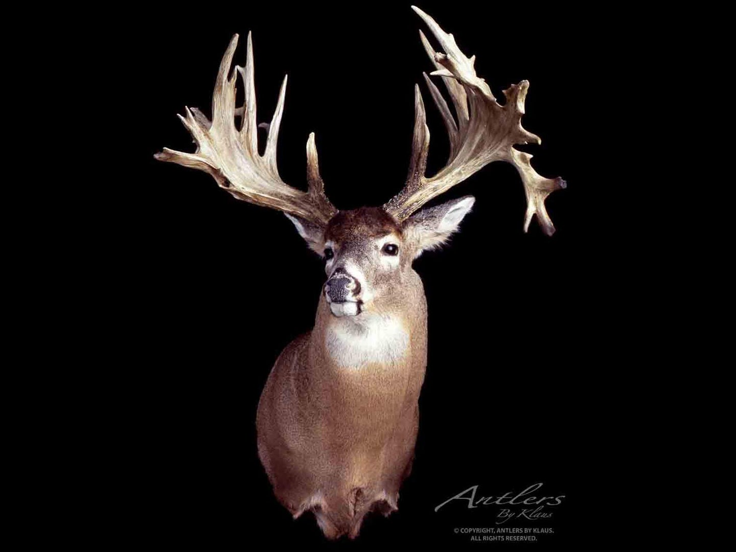 A large nontypical buck trophy on a black background.
