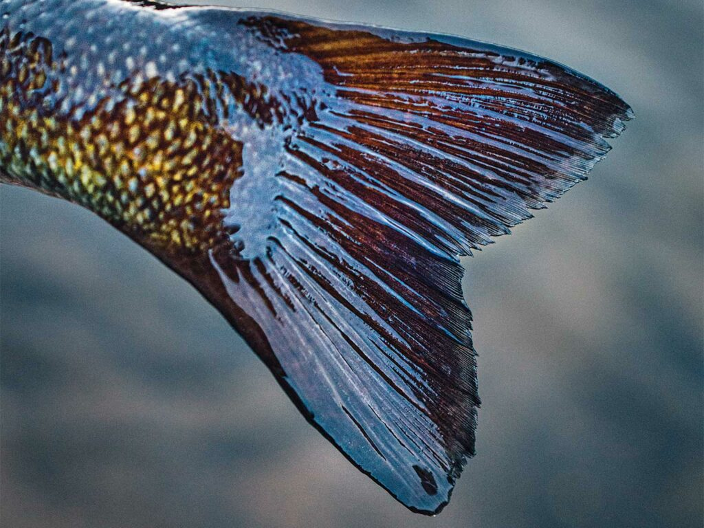The tail of a fish.