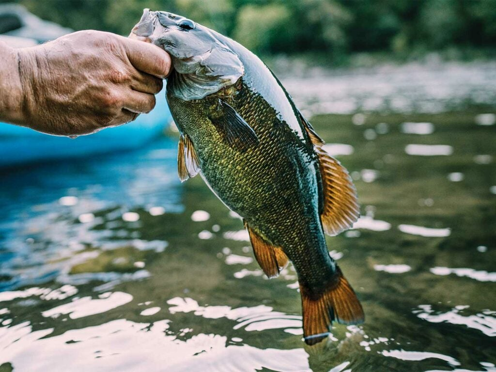 A large bass fish in a river.