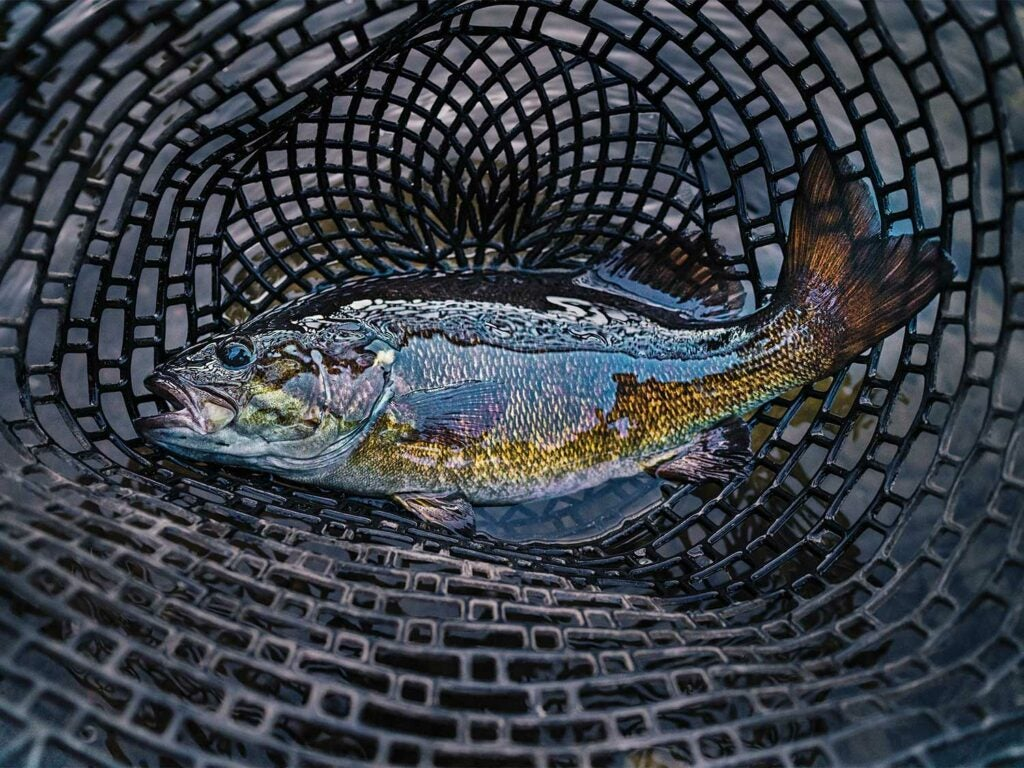 a large fish in a net.