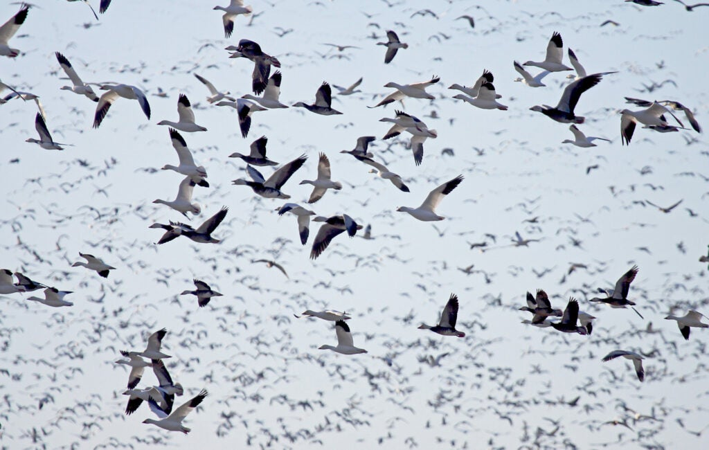 Try running an old-school snow goose rig to fool wary white birds.