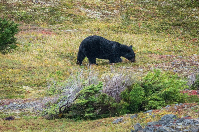 bear fat