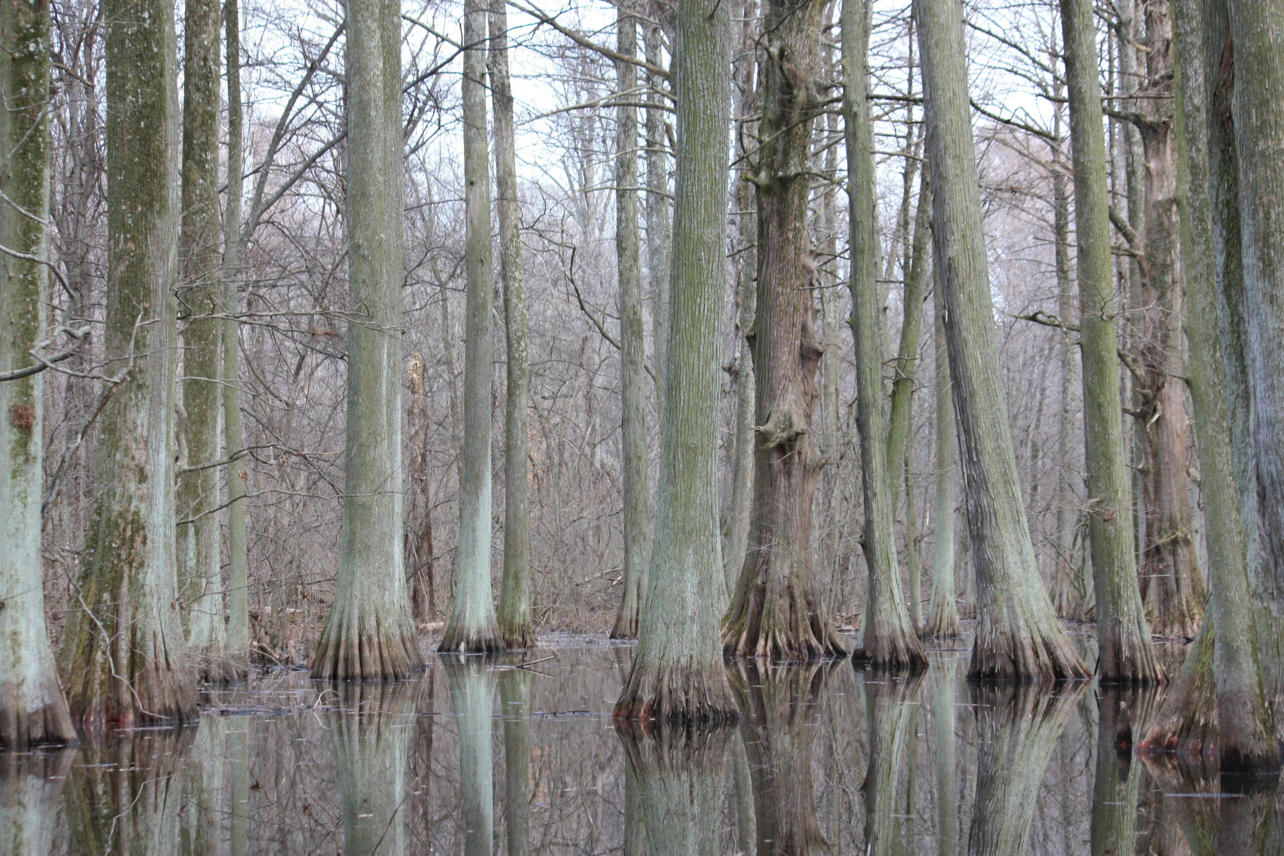 Cyprus trees on Reelfoot Lake in Tennessee, where two men were killed in January 2021.