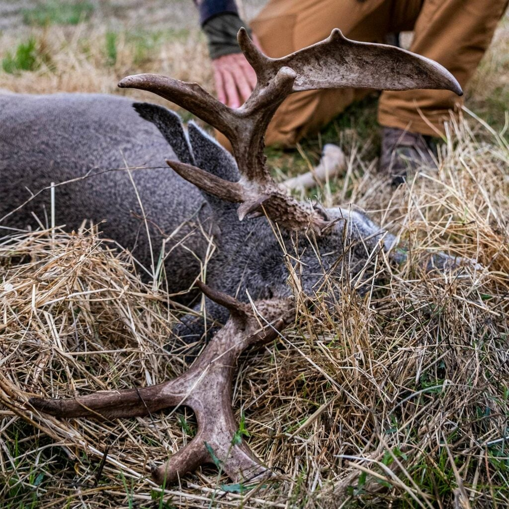 A hunter kneels and inspects the antlers of a whitetailed buck.