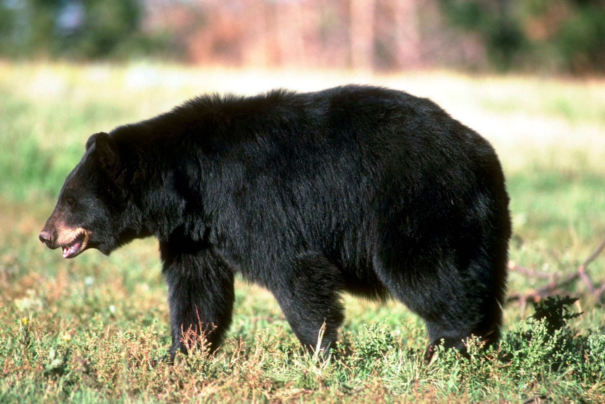 A black bear walks across a meadow in California, where a bear hunting ban has been proposed.
