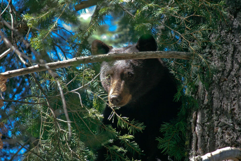 A California black bear in a tree, an uncommon sight since bear hunting with hounds was banned.