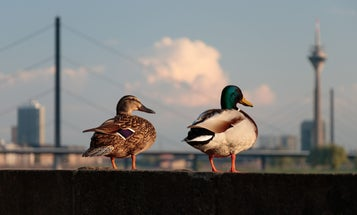 Wild Game Populations Are Thriving in Big Cities
