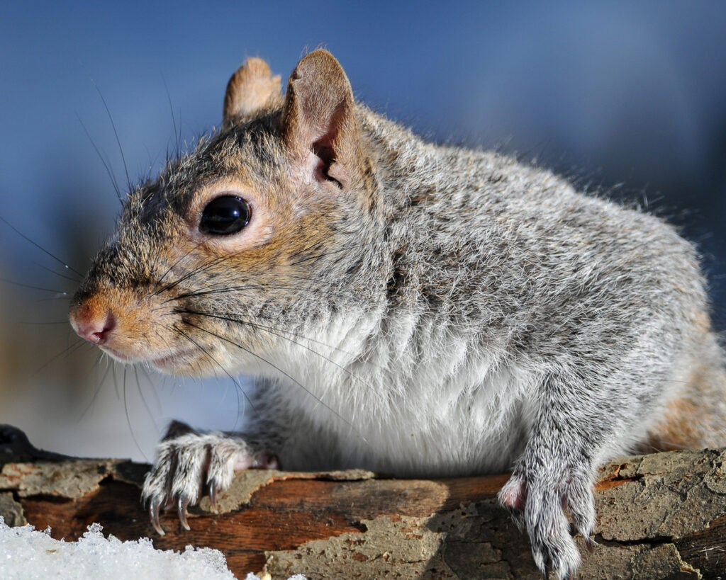 A gray squirrel peers over a snowy log.