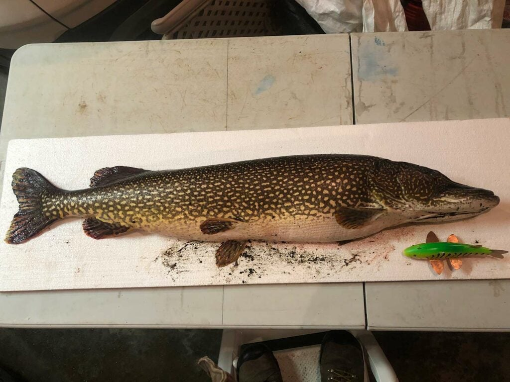 A pike fish on a table.