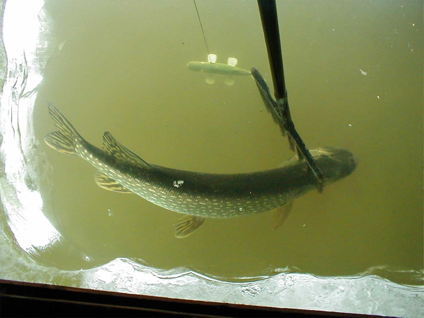 A northern pike about to be speared.