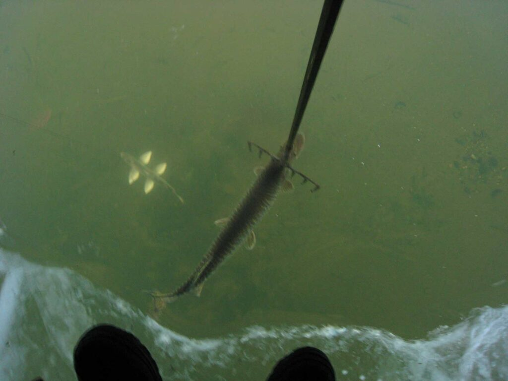 A large northern pike about to be speared.