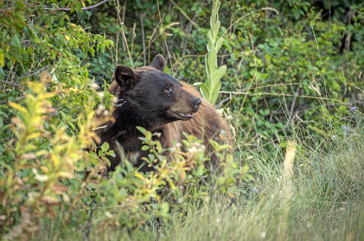 An attempt to ban bear hunting in California was quickly struck down thanks to push back from dedicated hunters.