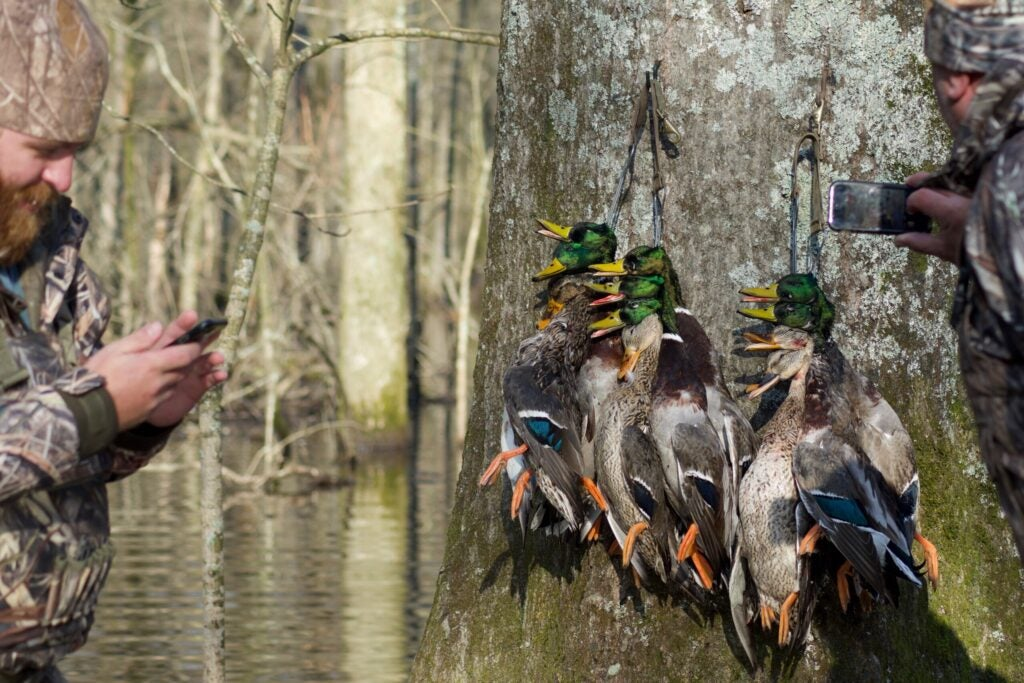 To have success hunting pressured ducks, you have to let them rest.