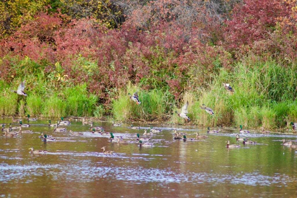 Mallards are the only ducks that have a hen limit.