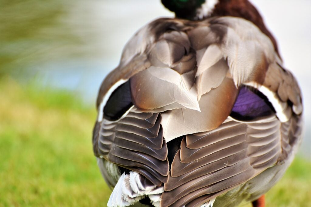 During the summer waterfowl go through a molting process.
