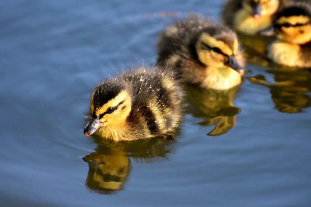 Ducklings have many predators.