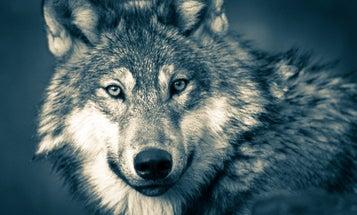 Wisconsin Rushes Through Late-Season Wolf Hunt