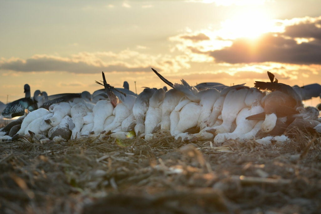 If you want to have a successful snow goose hunt, avoid making fatal mistakes.