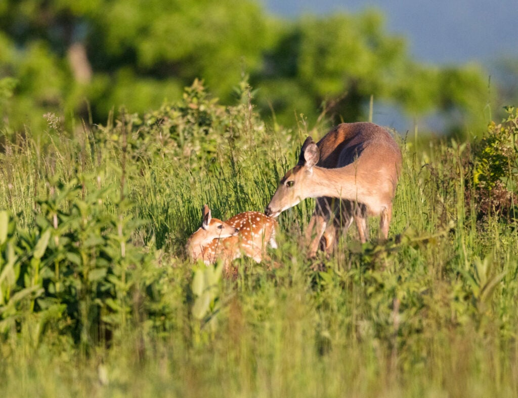A whitetail doe nuzzles her spotted fawn in a green field.