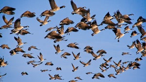 Can Hunting Be Used to Manage Urban Goose Populations? A New Radio-Collar Study Has Some Answers